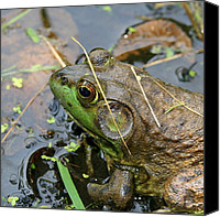 Bullfrogs Canvas Prints - Pond Home  Canvas Print by Neal  Eslinger