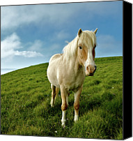 Pony Canvas Prints - Pony On Mykines Canvas Print by © Rune S. Johnsson