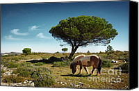 Mare Canvas Prints - Pony Pasturing Canvas Print by Carlos Caetano