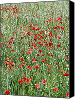 Avens Canvas Prints - Poppies Growing In A Field Of Oats Canvas Print by Carlos Dominguez