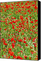 Meadows Canvas Prints - Poppies in rye Canvas Print by Elena Elisseeva
