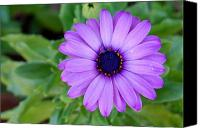 Pedals Canvas Prints - Popping Purple Daisy Canvas Print by Shannon McMannus