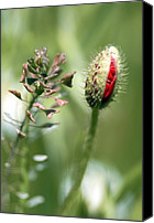 Avens Canvas Prints - Poppy Bud In A Field Of Oats Canvas Print by Carlos Dominguez