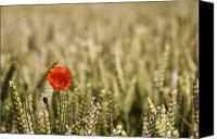 Cultivation Canvas Prints - Poppy Flower In Field Of Wheat Canvas Print by John Short