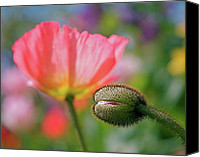 Photographic Art Print Canvas Prints - Poppy in Waiting Canvas Print by Rona Black