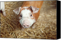 Pig Photo Canvas Prints - Porquet Canvas Print by Roc Canals Photography