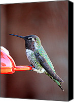 Bird On Feeder Canvas Prints - Portrait of a Hummingbird Canvas Print by Carol Groenen