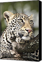 Leopards Canvas Prints - Portrait of a Leopard Canvas Print by Richard Garvey-Williams