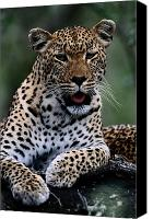 And Threatened Animals Photography Canvas Prints - Portrait Of A Male Ten-month-old Canvas Print by Chris Johns