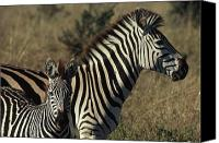Formerly Canvas Prints - Portrait Of A Plains Zebra And Her Foal Canvas Print by James L. Stanfield