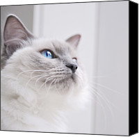 Melbourne Canvas Prints - Portrait Of A Ragdoll Cat Canvas Print by Rachel Devine