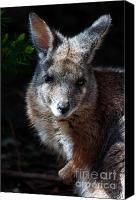 Wallaby Canvas Prints - Portrait of a Wallaby Canvas Print by Rob Hawkins