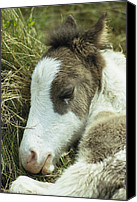 Assateague Canvas Prints - Portrait Of A Wild Pony Foal Sleeping Canvas Print by James L. Stanfield