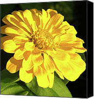Zinna Canvas Prints - Portrait of a Yellow Zinna Canvas Print by Cathy Sosnowski