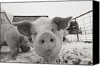Pig Photo Canvas Prints - Portrait Of A Young Pig. Property Canvas Print by Joel Sartore
