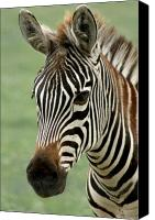 Zoo Canvas Prints - Portrait of a Zebra Canvas Print by Barbara  White