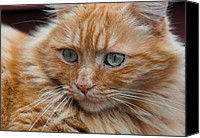 Critter Canvas Prints - Portrait of an Orange Kitty Canvas Print by Greg Nyquist