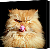 Animal Head Shot Canvas Prints - Portrait Of Licking Persian Cat Canvas Print by Hulya Ozkok