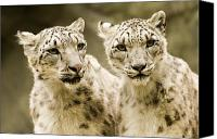 Leopards Canvas Prints - Portrait Of Two Captive Snow Leopards Canvas Print by Tim Laman