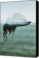 Colonial Man Photo Canvas Prints - Portuguese Man-of-war Canvas Print by Peter Scoones