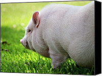 Pig Photo Canvas Prints - Potbelly Pig Canvas Print by Christopher Jenkins  c/o www.luckyshotphotos.com