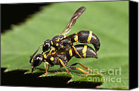 Close Up Canvas Prints - Potter Wasps Mating Canvas Print by Clarence Holmes