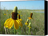Estephy Sabin Figueroa Photo Canvas Prints - Prairie Coneflowers Canvas Print by Estephy Sabin Figueroa