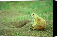 Prairie Dog Photo Canvas Prints - Prairie Dog and Den Canvas Print by John Burk