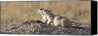 Prairie Dog Photo Canvas Prints - Prairie Dog Cynomys Sp Pair, Grasslands Canvas Print by Matthias Breiter