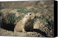 Prairie Dog Photo Canvas Prints - Prairie Dog Canvas Print by David Aubrey