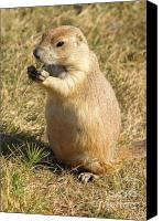 Prairie Dog Photo Canvas Prints - Prairie Dog feeding on the meadows at the Devils Tower Canvas Print by Alex Cassels