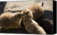 Prairie Dog Photo Canvas Prints - Prairie Dog Gossip Session Canvas Print by Trish Tritz