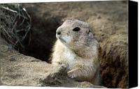 Prairie Dog Photo Canvas Prints - Prairie Dog Lookout Canvas Print by Karol  Livote