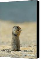 Prairie Dog Photo Canvas Prints - Prairie Dog Canvas Print by Sebastian Musial