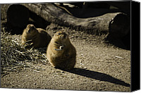 Prairie Dog Photo Canvas Prints - Prairie Dog Sees The Shadow Canvas Print by Trish Tritz