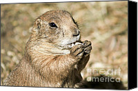 Prairie Dog Photo Canvas Prints - Prairie Dog Canvas Print by Teresa Zieba