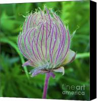 Avens Canvas Prints - Prairie smoke Purple avens Canvas Print by Photography Moments - Sandi