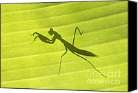 Praying Canvas Prints - Praying Mantis Canvas Print by Richard Garvey-Williams