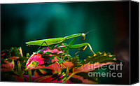 Insect Photography Canvas Prints - Praying Mantis Canvas Print by Robert Bales