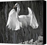 Great Egret Canvas Prints - Pre Flight Canvas Print by Carl Jackson