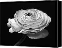 Closeup Mixed Media Canvas Prints - Prelude - Black and White Roses Macro Flowers Fine Art Photography Canvas Print by Artecco Fine Art Photography - Photograph by Nadja Drieling
