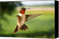 Ruby Throated Canvas Prints - Pretty Boy Canvas Print by Bill Pevlor
