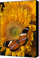 Yellows Canvas Prints - Pretty butterfly on sunflowers Canvas Print by Garry Gay