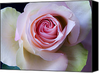 Photographs Digital Art Canvas Prints - Pretty in Pink - Roses Macro Flowers Fine Art  Photography Canvas Print by Artecco Fine Art Photography - Photograph by Nadja Drieling