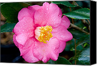 Camellia Canvas Prints - Pretty in Pink 2 Canvas Print by Rich Franco