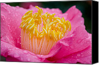 Camellia Canvas Prints - Pretty in Pink Canvas Print by Rich Franco