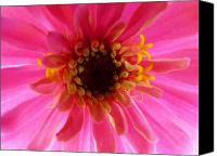 Zinna Canvas Prints - Pretty on the Inside Canvas Print by Jeanette Oberholtzer