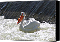 White Pelican Canvas Prints - Pretty Pelican Canvas Print by Carol Groenen
