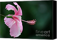 Florida Flowers Canvas Prints - Pretty Pink Hibiscus Canvas Print by Sabrina L Ryan