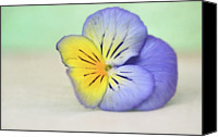 Yellow Flower Canvas Prints - Pretty Purple And Yellow Pansy Canvas Print by Susan Gary